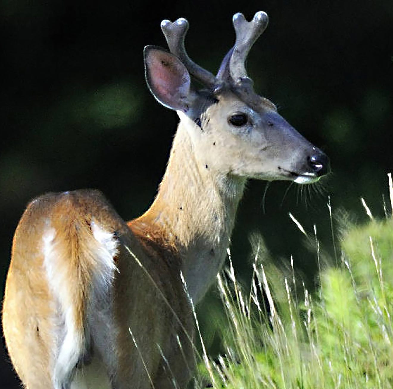 Portage County deer tests positive for CWD. Hunt ranch and breeding farm quarantined.