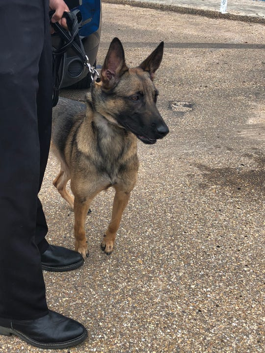 K-9 Angel prepares for duty at the Jackson Police Department