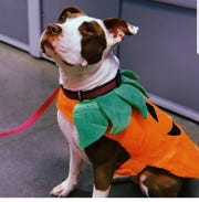 Ruby, a pit bull terrier owned by Jordan Hatcher, wears a PetSmart pumpkin outfit.