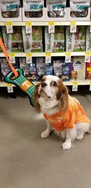 Tucker the dog models UT gear for Halloween at PetSmart. He's owned by PetSmart employee Lisa Wegman.