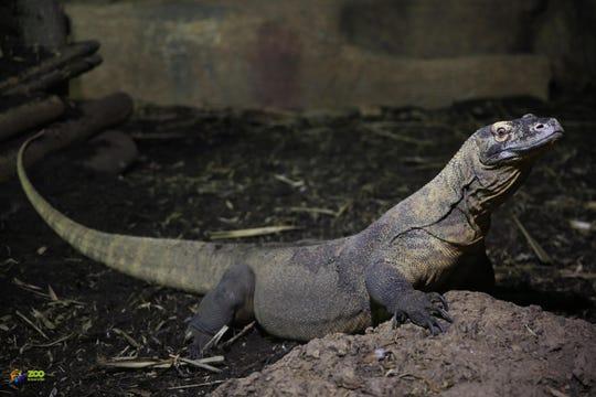 Zoo Knoxville's Komodo dragon Khaleesi in her  Wee Play exhibit.