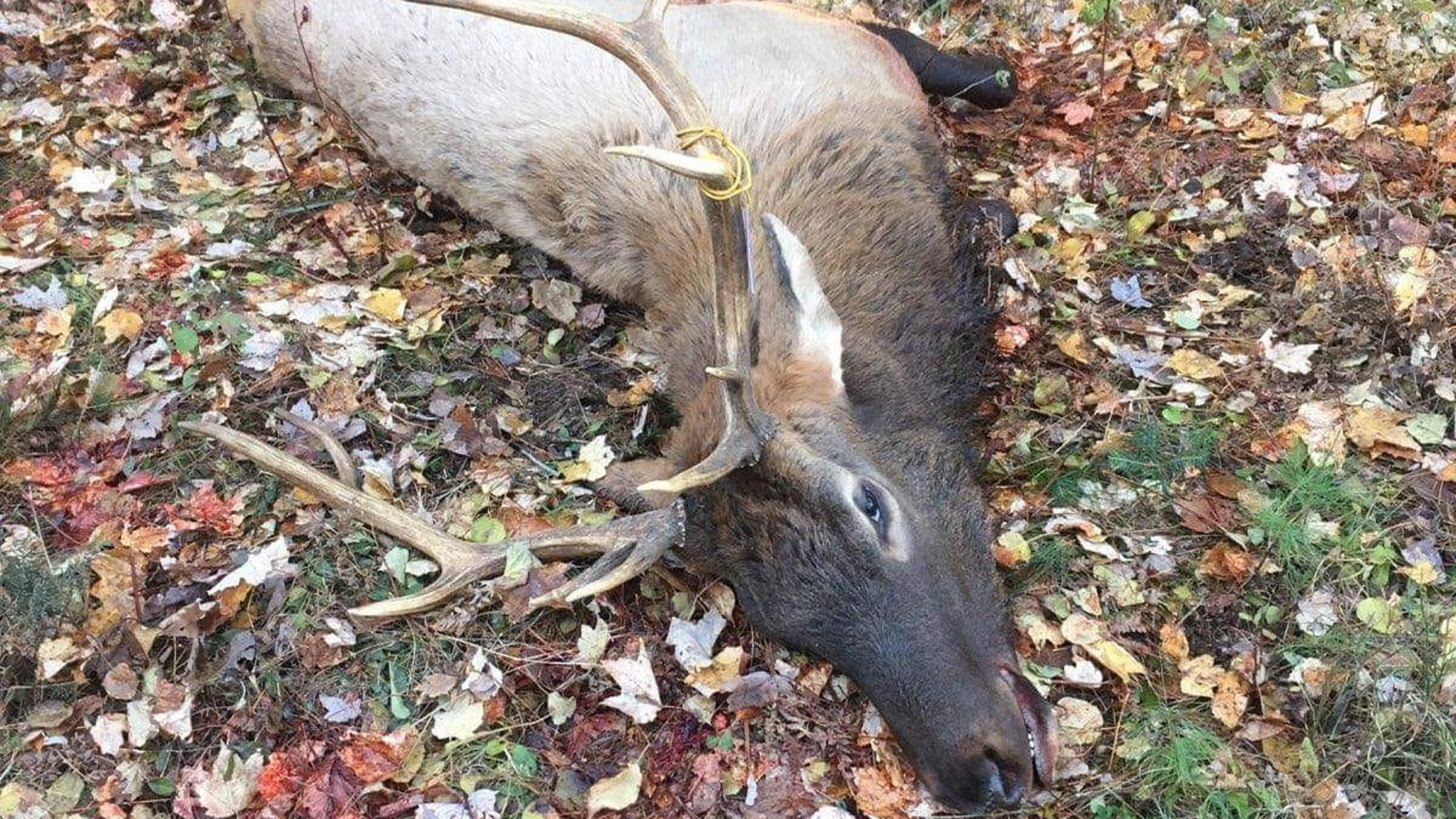 Franklin man cited for illegally shooting elk during