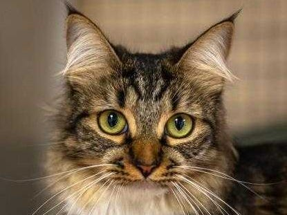 Baby - Female (spayed) domestic long hair, about 1 year old. Intake date: 10-6-2017.