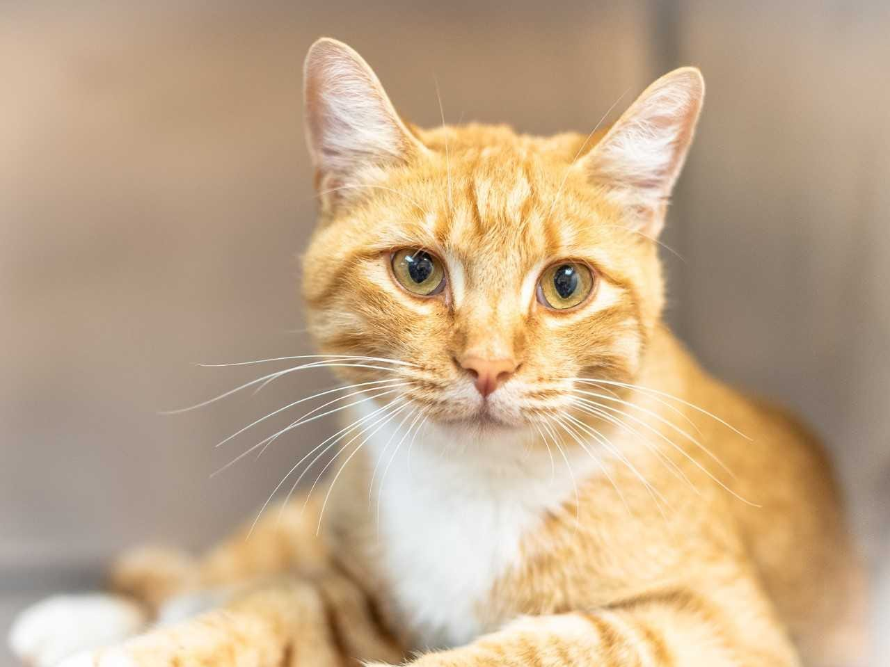 Gizmo - Male (neutered) domestic short hair, about 2.5 years old. Intake date: 8-31-2018.