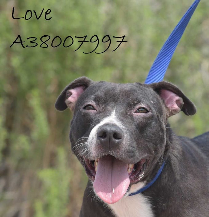 Love - Female (spayed) pitbull mix, about 3.5 years old. Intake date:3-7-2018