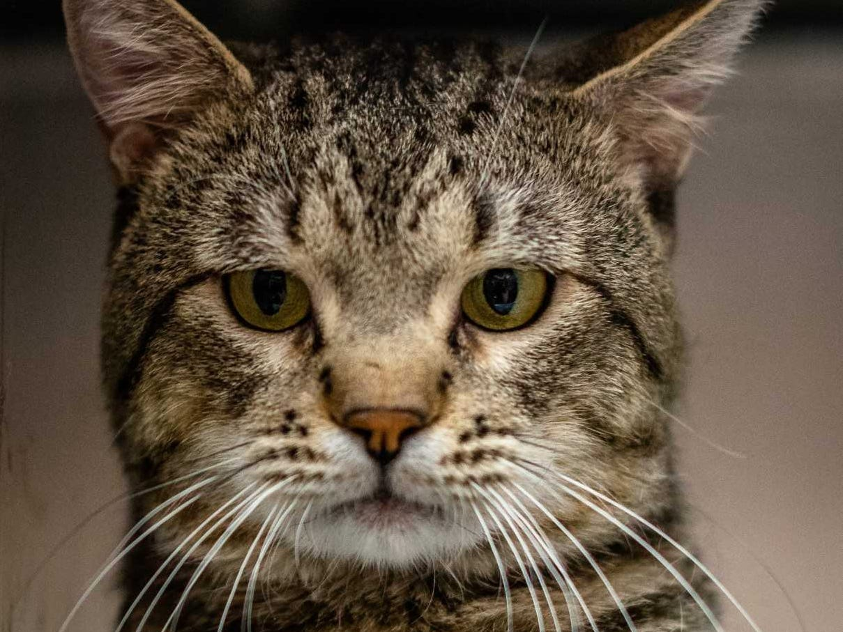 Hank - Male (neutered) domestic medium hair, about 2 years old. Intake date: 4-9-2018.