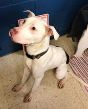 Gordy is looking for a human to take care of him, play with him and love him. He is a Pit--mix