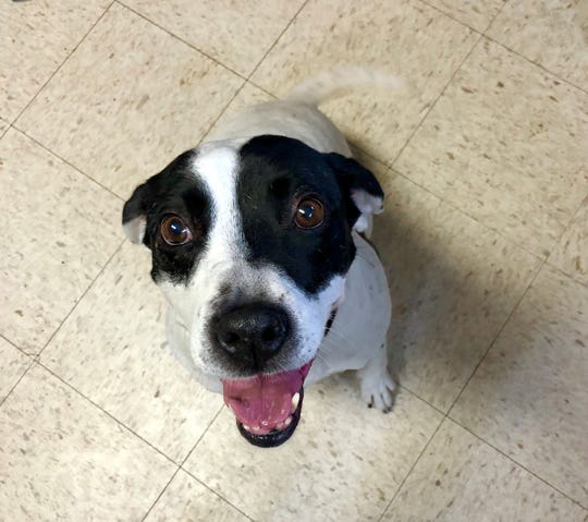Alice is a female Sheppard/Pit mix that will be up for adoption.
