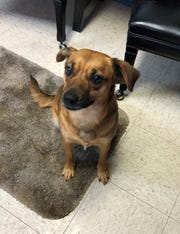 Mitzie is a female Chihuahua Terrier mix is looking for her forever home and human.