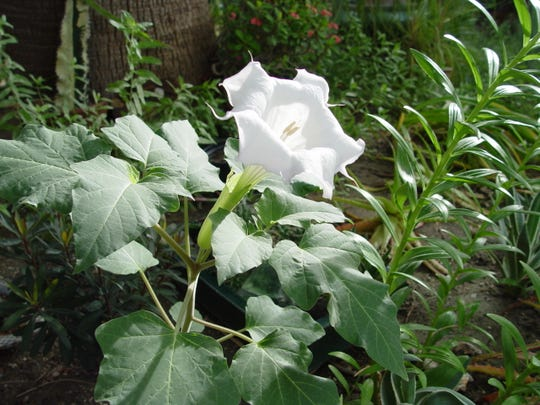Snowy, white trumpets give datura it's appeal to pollinating hummingbird moths.