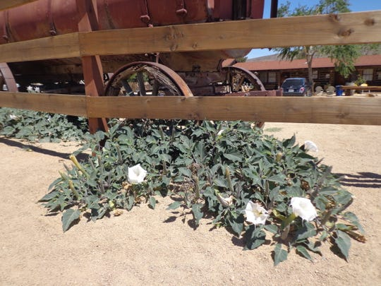 In the desert datura, a popular flying ointment component, was used by the Cahuilla Indians for medicine and ritual.
