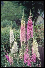 From a folk healer recipe for pulmonary edema came the discovery of foxglove's digoxin for cardiac stabilization.