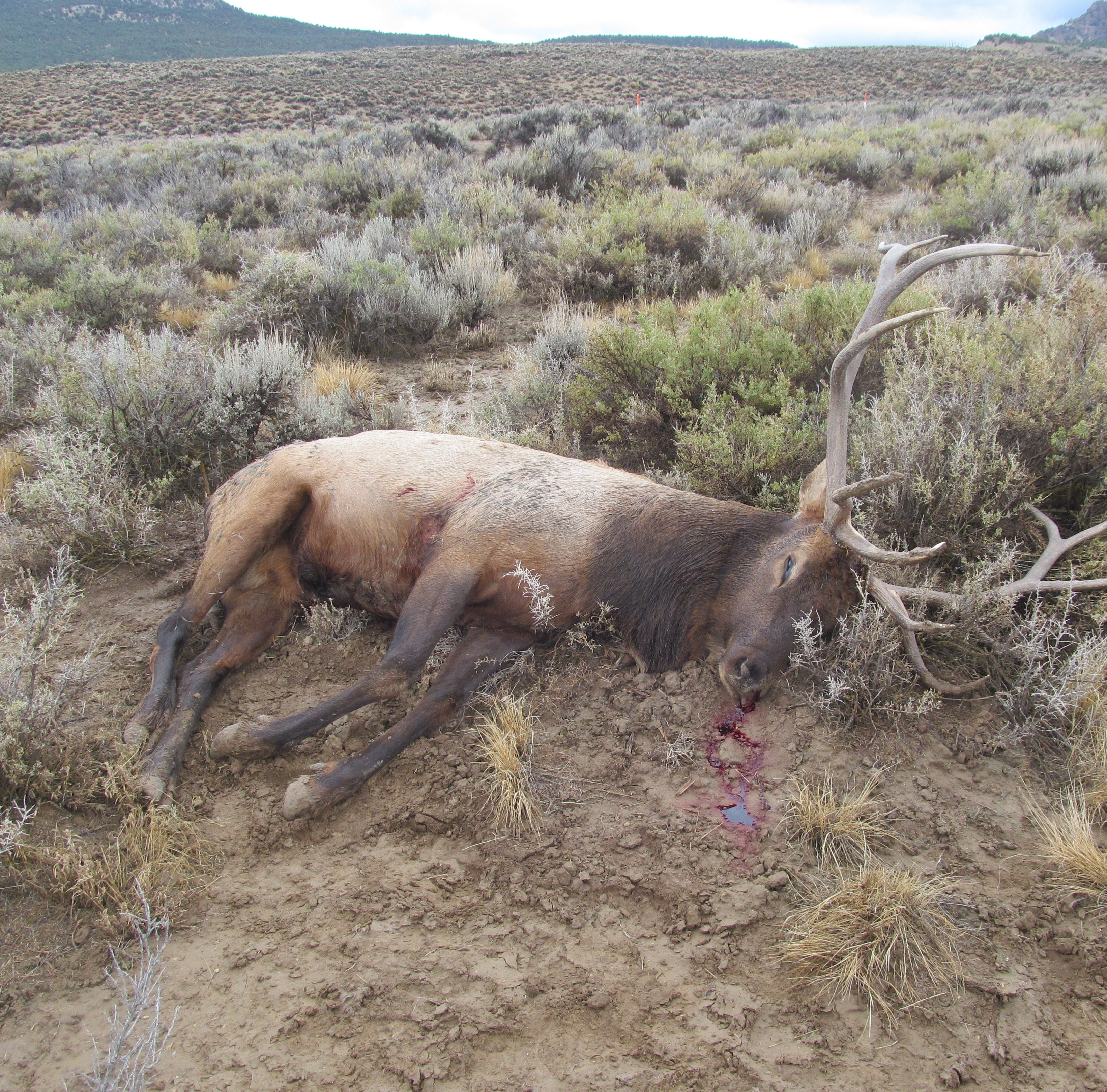 Elk illegally shot near 'Loneliest Road' spurs hunt for shooter