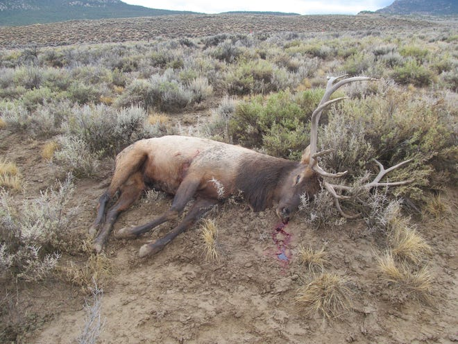 Wildlife officials in Nevada found this elk on the morning of Oct. 6, 2018, near U.S. Highway 50 in White Pine County.