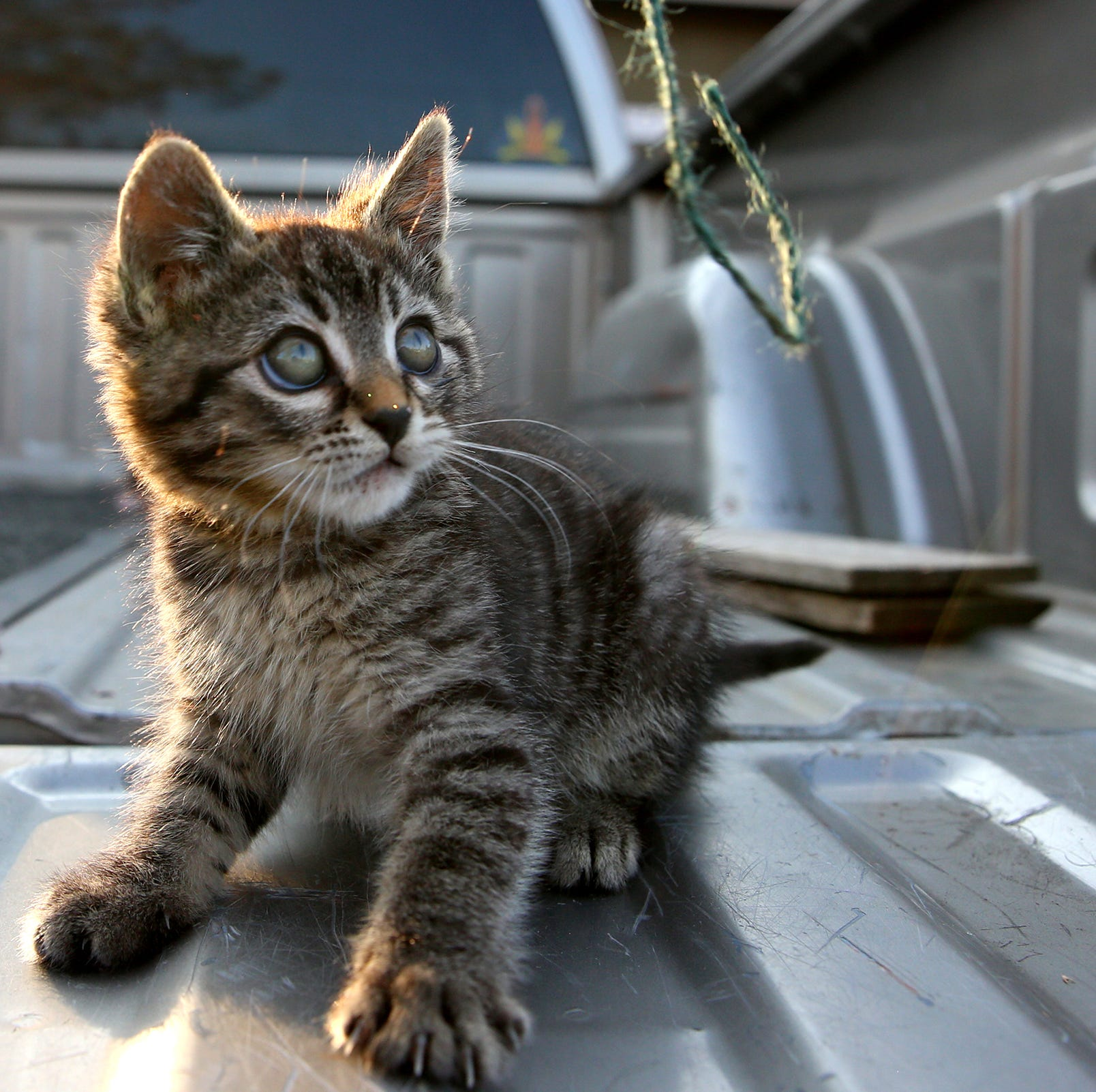 Sticky the kitten plays with a string on Monday, Oct. 22 in Silverton. She was found glued to the side of the road.