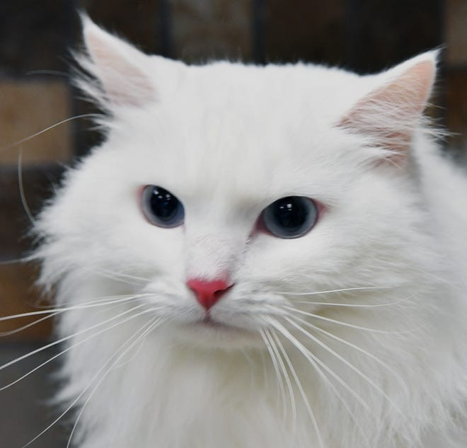 Tinkerbell is a 2-year-old, white, domestic long-haired cat. She has been spayed. Tinkerbell is calm and would do well in a quiet home. She is available for adoption at the Wichita Falls Animal Services Center.