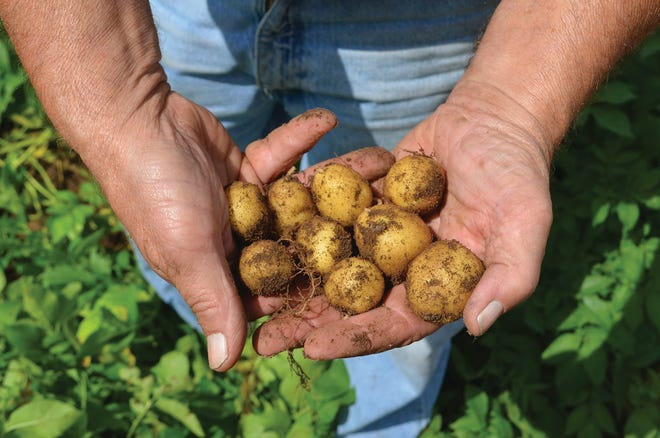 Without restaurants and schools to use up last year's potatoes, there may be storage problems when the 2020 crop is harvested.