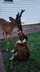 George the deer gets close to the family dog.