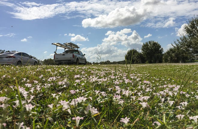 """""""Florida snow"""" was blooming along Murrell Road in Viera on Wednesday, Oct. 24."""