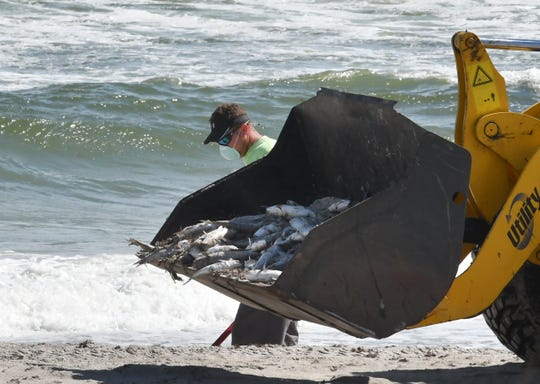 An Indialantic Public Works crew cleaning up thousands of dead fish from red tide scattered along the south Brevard beaches on Wednesday.