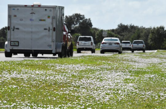 """Back for 2018. The invasive flower called largeflower pusley, but nicknamed """"Florida Snow"""" growing along the shoulder of Murrell Road in Viera."""