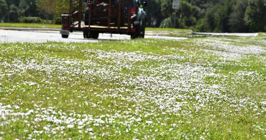 "Back for 2018. The invasive flower called largeflower pusley, but nicknamed ""Florida Snow"" growing along the shoulder of Murrell Road in Viera."