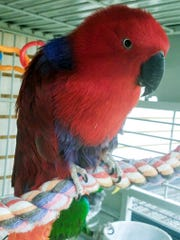 An eclectus parrot that was rescued from a home in Burlington, Iowa. It's just one of 25 birds that were taken from the home.