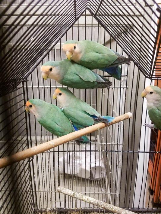 Lovebirds7