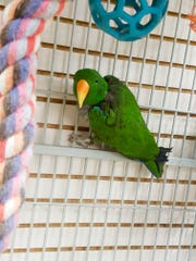 An eclectus parrot that was rescued from a home in Burlington, Iowa. Its owner suffered a stroke and the bird, along with 24 others, were removed from the home.