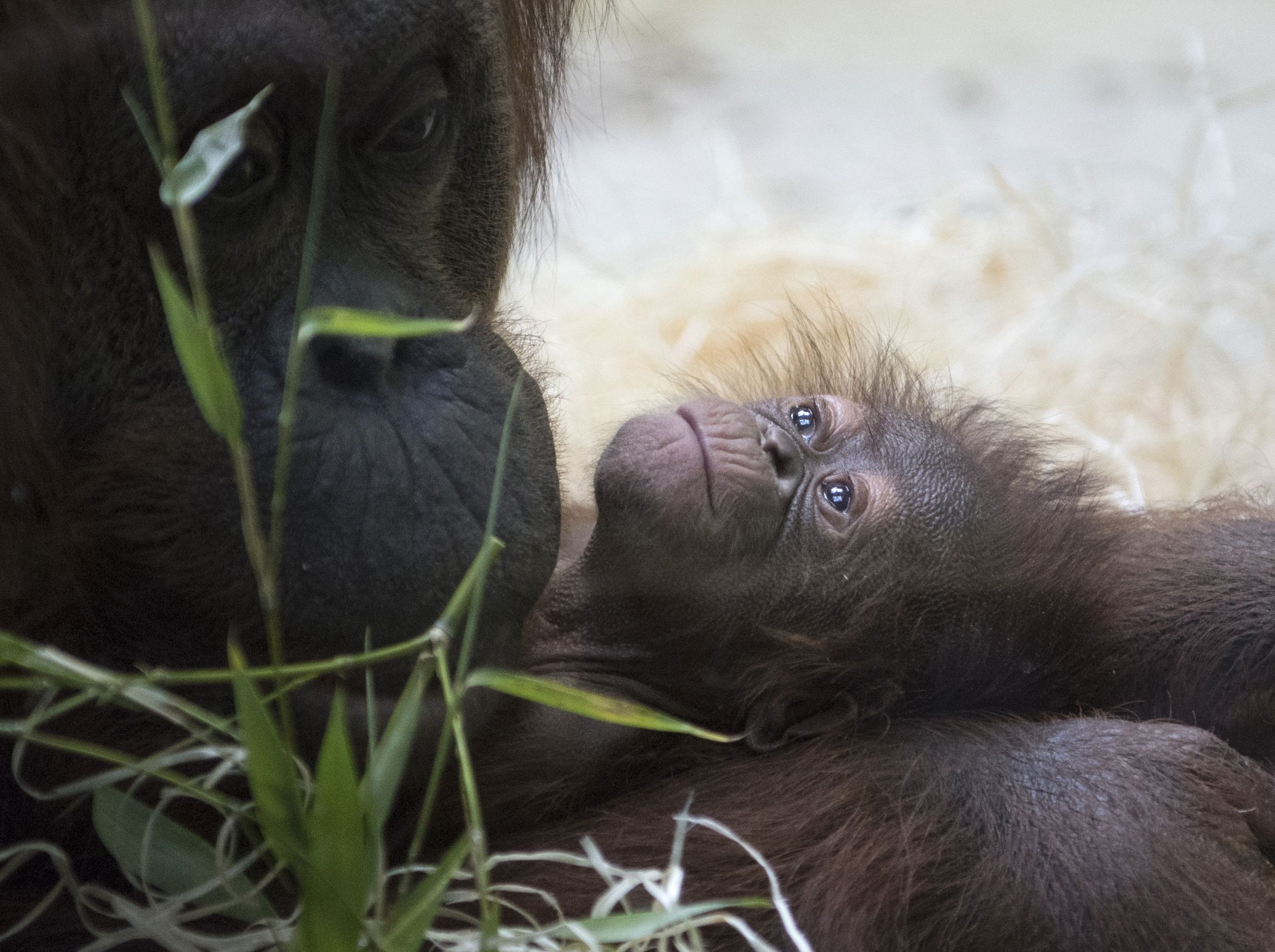"Borneo orang-utan ""Theodora"" (L) looks at her 8-day old baby ""Java"" in their enclosure at the ""Menagerie du Jardin des Plantes"" zoo in Paris on October 24, 2018. - The last birth of an orangutan at the menagerie dates back to 2005, according to the National Museum of Natural History (MNHN). Borneo orangutans are on the International Union for the Conservation of Nature (IUCN) Red List as Critically Endangered animals."