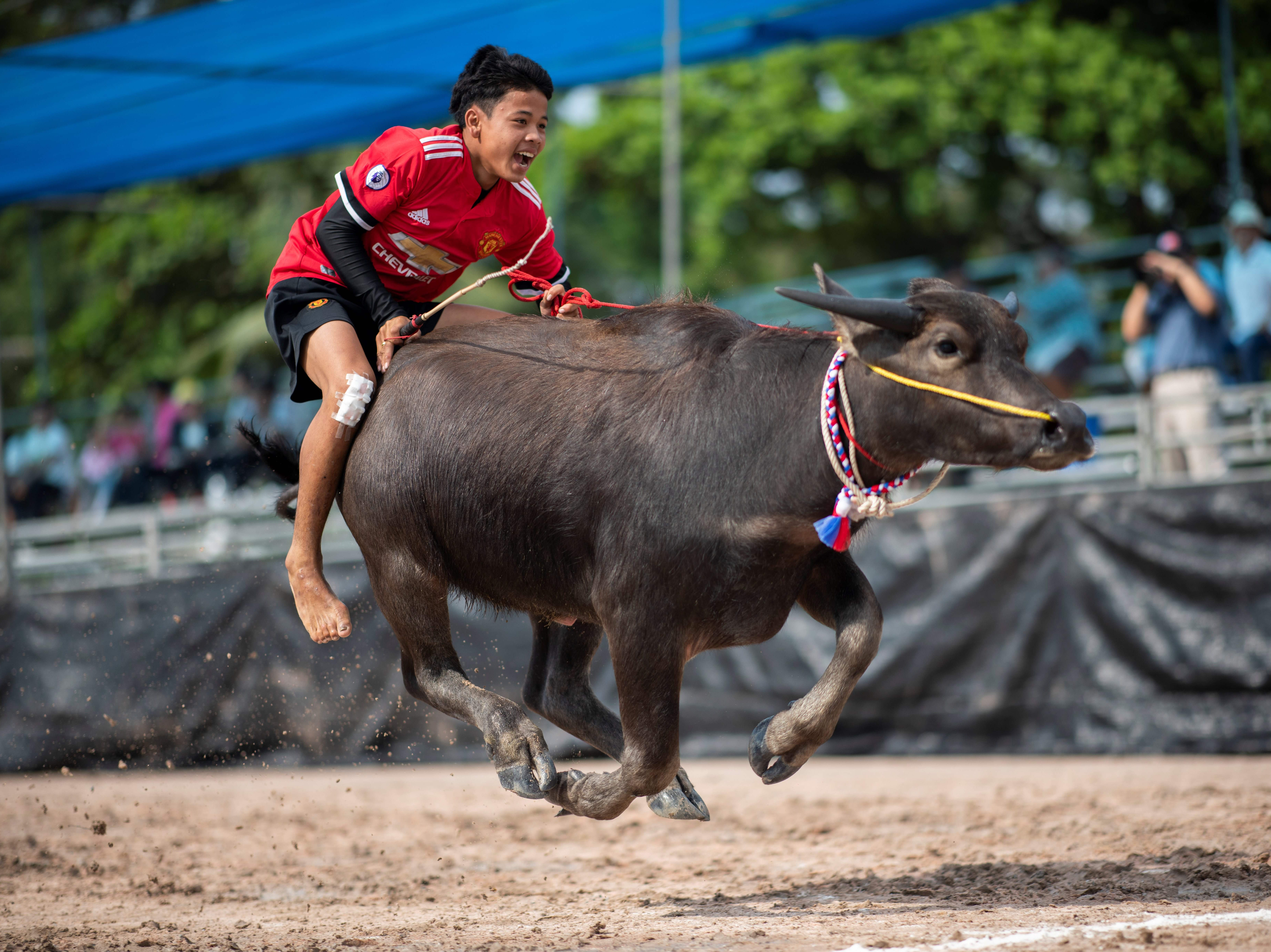 A jockey rides a buffalo during the annual races in Chon Buri on Oct. 23, 2018. Several hefty buffaloes thunder down a dirt track in eastern Thailand, kicking up dust as they are urged toward the finish line by whip-wielding riders.