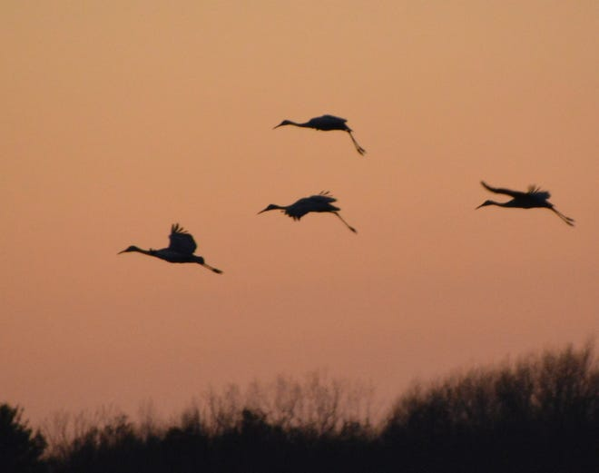Sandhill cranes are seen wheeling into Oconto Marsh to roost for the night.