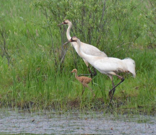 Whooping Crane adults and young  seen at Necedah National Wildlife Refuge.