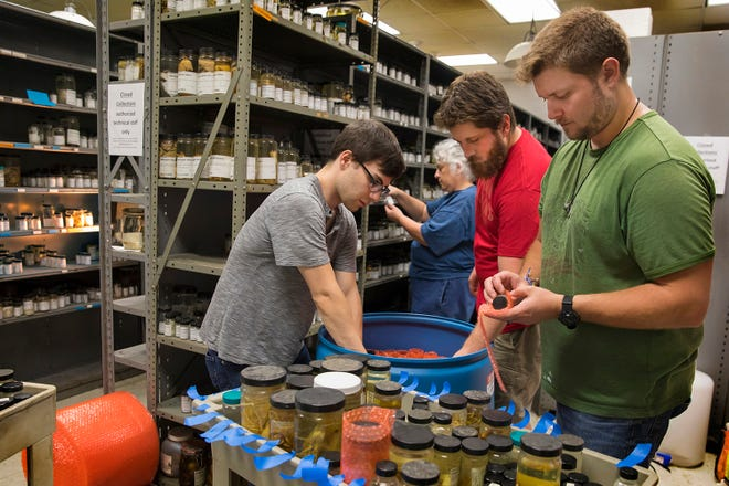 Technicians from the Smithsonian Institution's National Museum of Natural History pack specimens from the University of Louisiana at Lafayette Zoological Crustacean Collection on Wednesday, Oct. 17, 2018, in Billeaud Hall on campus. The Smithsonian has accepted the collection into its holdings. From left are Adam Stergis, Karen Reed, Simon Pecnik and Marshall Boyd.