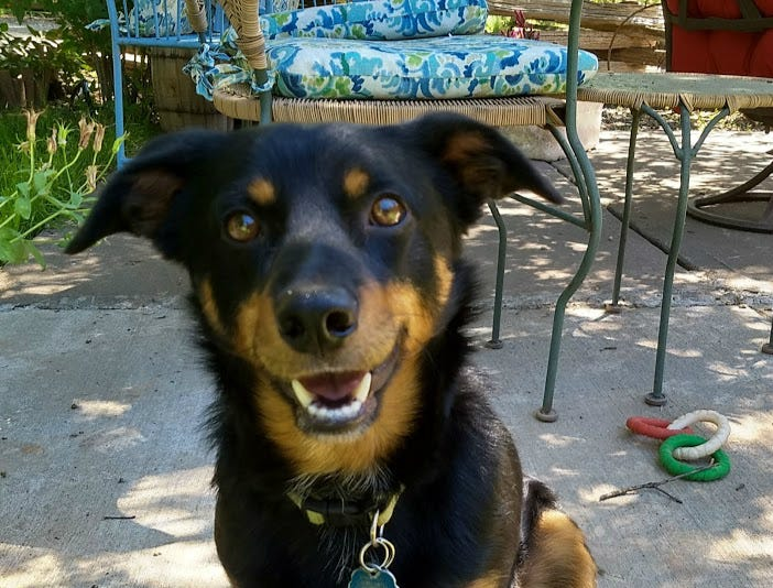 Clyde is a house-, crate-, leash- and car-trained kelpie mix who was dumped in the country. He's about 18 months old and weighs 30 pounds. He gets along with other dogs, but not cats. He's shy at first but responds well to treats. He's best with a dog-savvy owner who understands that Clyde needs a chance to adjust to new surroundings. He'd be good with another friendly active dog. His adoption fee is $75. Call SNIPPP at 336-6006. Go to www.snippp.org.