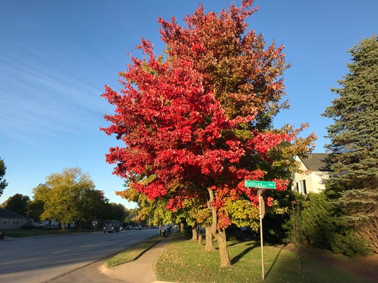This tree is at East Sunshine and Dollison Avenue. Despite its beauty, it seems as if what was once an annual fall blaze of color has become more and more muted.