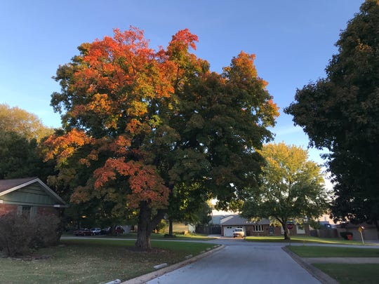 This tree is on South Eureka Terrace, in Southern Hills in Springfield.  Despite its beauty, it seems as if what was once an annual fall blaze of color has become more and more muted.