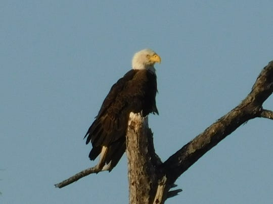 The eagles and all three of their nests weathered Hurricane Michale just fine at the St. Marks Wildlife Refuge.