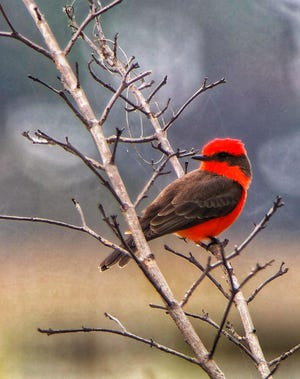 The Vermilion flycatcher is just one of the migrating birds you can see this month at the Monarch Butterfly Festival in St. Marks National Wildlife Refuge.