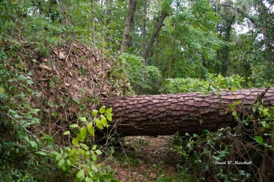 Pine Fallen In Hurricane Smaller