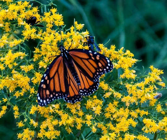 Monarch on a flavia flower.