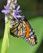 Monarch nectar on many different pollinator plants but lay their eggs on milkweed.
