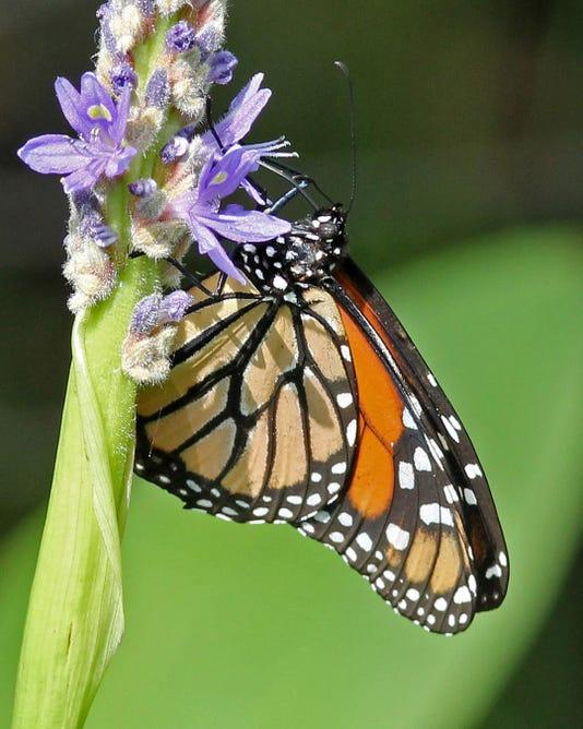 Monarch Nectaring