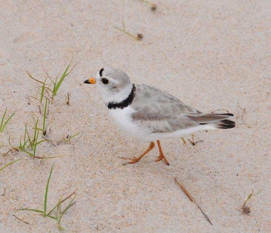An adult piping plover.