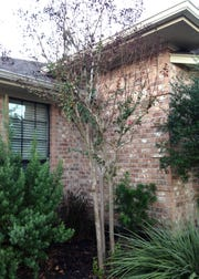 Cooler temperatures can damage taller versions of crape myrtle.