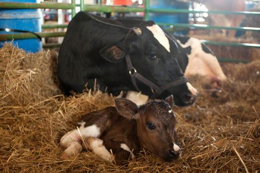Cgo Baby Calf Born At Fair