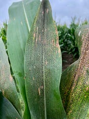 The tar spot fungus produces raised, black fungal structures called ascomata on the surface of corn leaves.