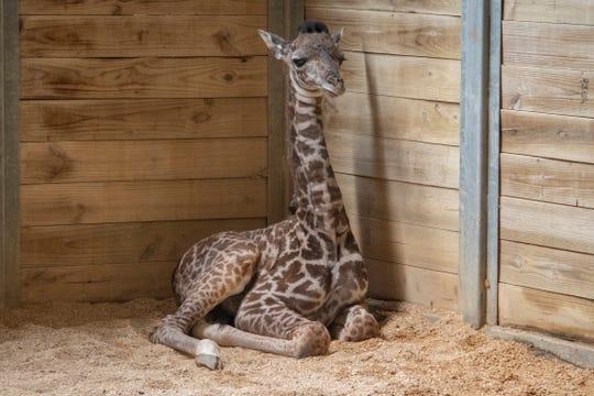 A newborn male giraffe rests at the Brevard Zoo.
