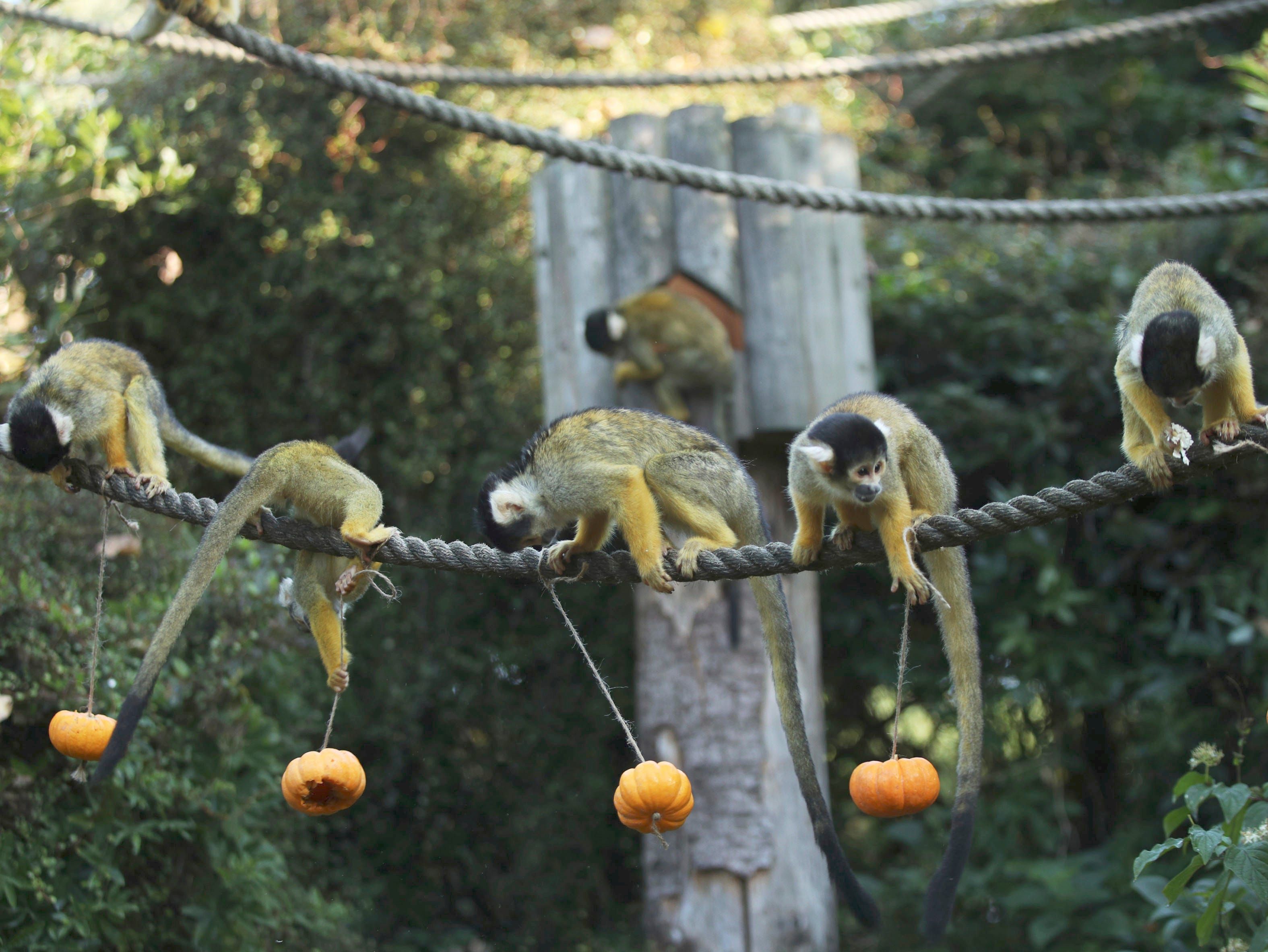 Squirrel monkeys search for Halloween treats hidden inside pumpkins, during a photo call ahead of Halloween, at London Zoo, in London, Thursday, Oct. 25, 2018.