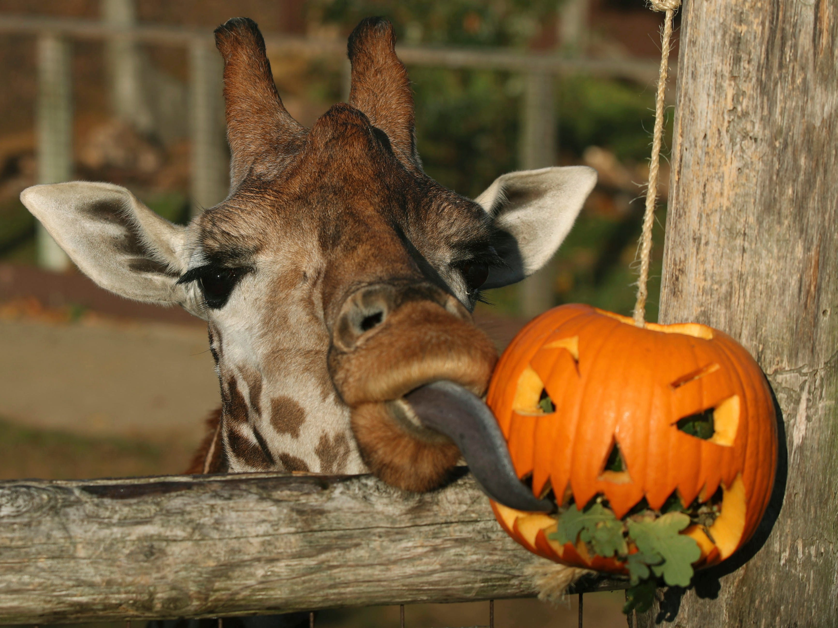A giraffe eats leaves from a pumpkin as a Halloween treat during a photo call ahead of Halloween, at London Zoo, in London, Thursday, Oct. 25, 2018.